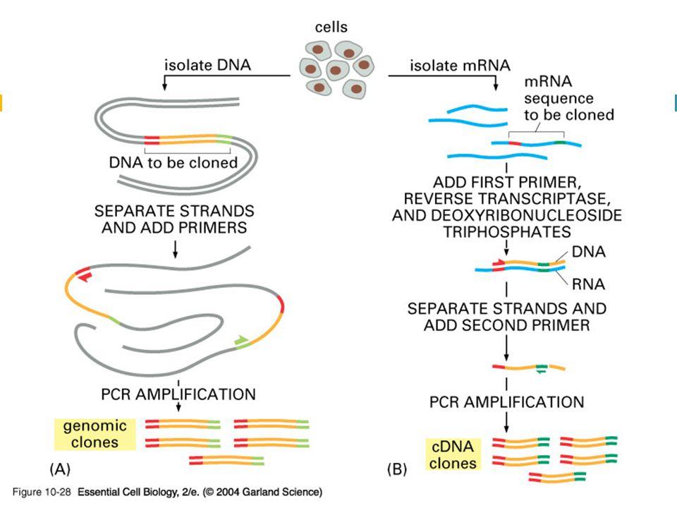 10_28_PCR_clones.jpg 10_28_PCR_clones.jpg