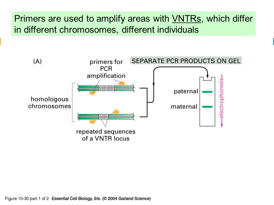 10_30_1_PCR_forensic.jpg Primers are used to amplify areas with VNTRs, which differ in different chromosomes, different individuals.
