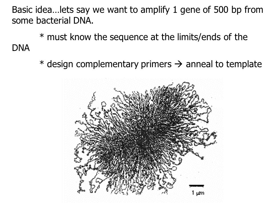 Basic idea…lets say we want to amplify 1 gene of 500 bp from some bacterial DNA.