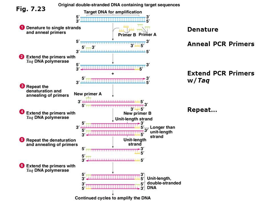 Fig. 7.23 Denature Anneal PCR Primers Extend PCR Primers w/Taq Repeat…