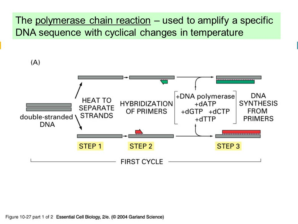 10_27_1_PCR_amplify.jpg The polymerase chain reaction – used to amplify a specific DNA sequence with cyclical changes in temperature.