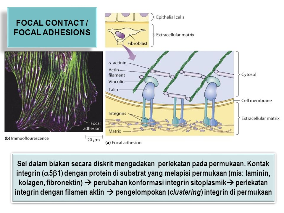 FOCAL CONTACT / FOCAL ADHESIONS