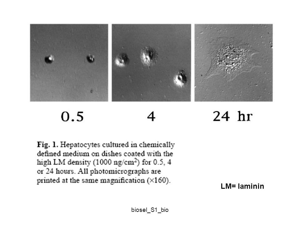 LM= laminin biosel_S1_bio