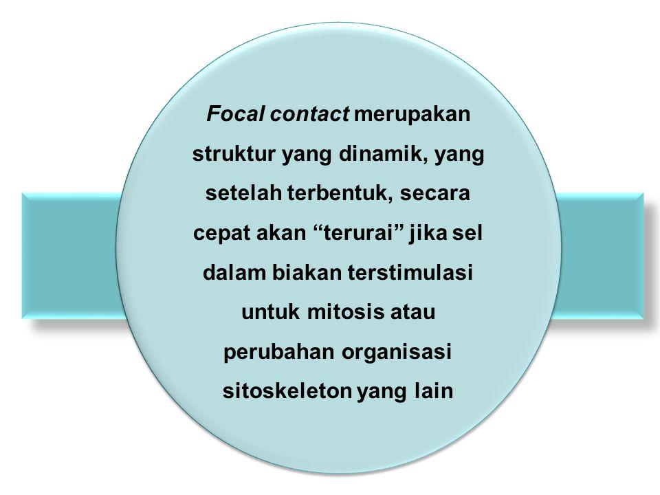 Focal contact merupakan struktur yang dinamik, yang setelah terbentuk, secara cepat akan terurai jika sel dalam biakan terstimulasi untuk mitosis atau perubahan organisasi sitoskeleton yang lain