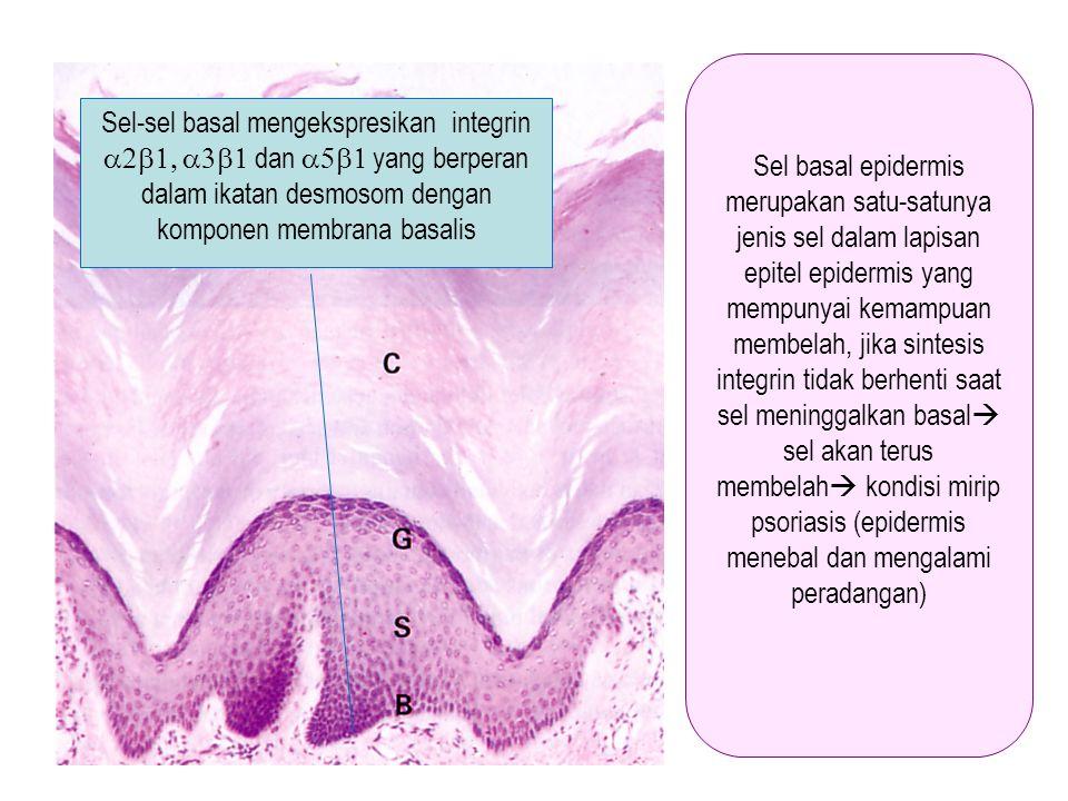 Sel basal epidermis merupakan satu-satunya jenis sel dalam lapisan epitel epidermis yang mempunyai kemampuan membelah, jika sintesis integrin tidak berhenti saat sel meninggalkan basal sel akan terus membelah kondisi mirip psoriasis (epidermis menebal dan mengalami peradangan)