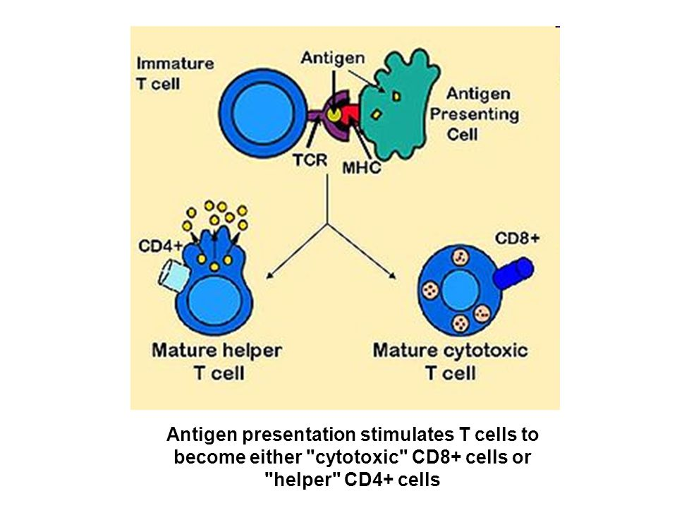 Antigen presentation stimulates T cells to become either cytotoxic CD8+ cells or helper CD4+ cells