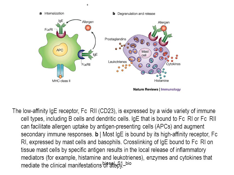 The low-affinity IgE receptor, Fc RII (CD23), is expressed by a wide variety of immune cell types, including B cells and dendritic cells. IgE that is bound to Fc RI or Fc RII can facilitate allergen uptake by antigen-presenting cells (APCs) and augment secondary immune responses. b | Most IgE is bound by its high-affinity receptor, Fc RI, expressed by mast cells and basophils. Crosslinking of IgE bound to Fc RI on tissue mast cells by specific antigen results in the local release of inflammatory mediators (for example, histamine and leukotrienes), enzymes and cytokines that mediate the clinical manifestations of atopy.