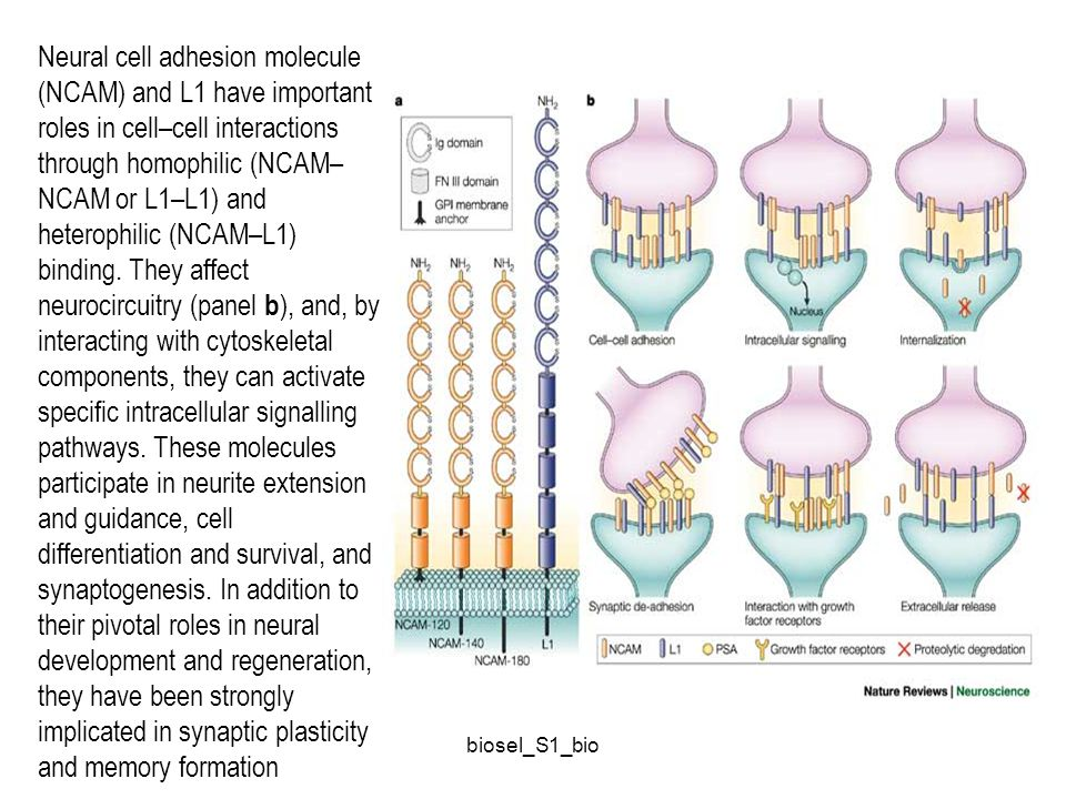 Neural cell adhesion molecule (NCAM) and L1 have important roles in cell–cell interactions through homophilic (NCAM–NCAM or L1–L1) and heterophilic (NCAM–L1) binding. They affect neurocircuitry (panel b), and, by interacting with cytoskeletal components, they can activate specific intracellular signalling pathways. These molecules participate in neurite extension and guidance, cell differentiation and survival, and synaptogenesis. In addition to their pivotal roles in neural development and regeneration, they have been strongly implicated in synaptic plasticity and memory formation