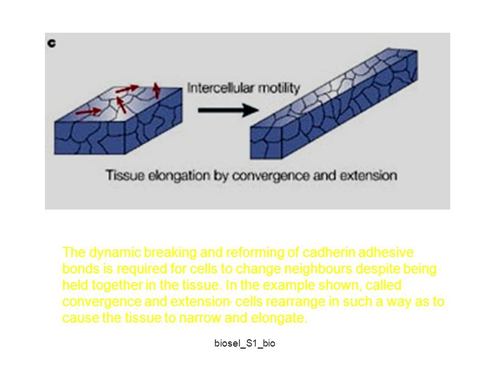 The dynamic breaking and reforming of cadherin adhesive bonds is required for cells to change neighbours despite being held together in the tissue. In the example shown, called convergence and extension, cells rearrange in such a way as to cause the tissue to narrow and elongate.