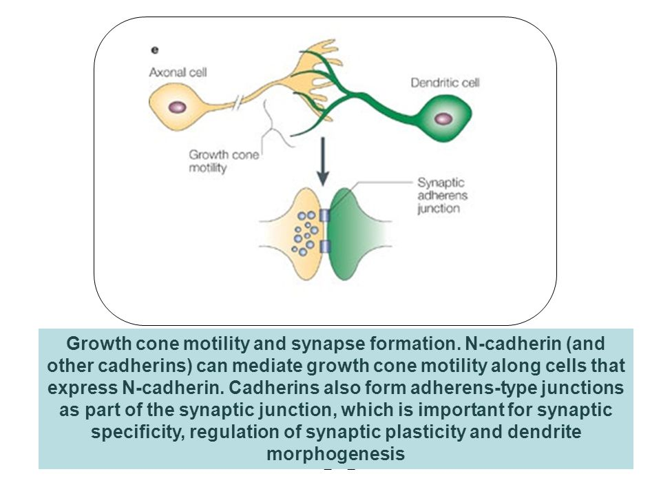 Growth cone motility and synapse formation