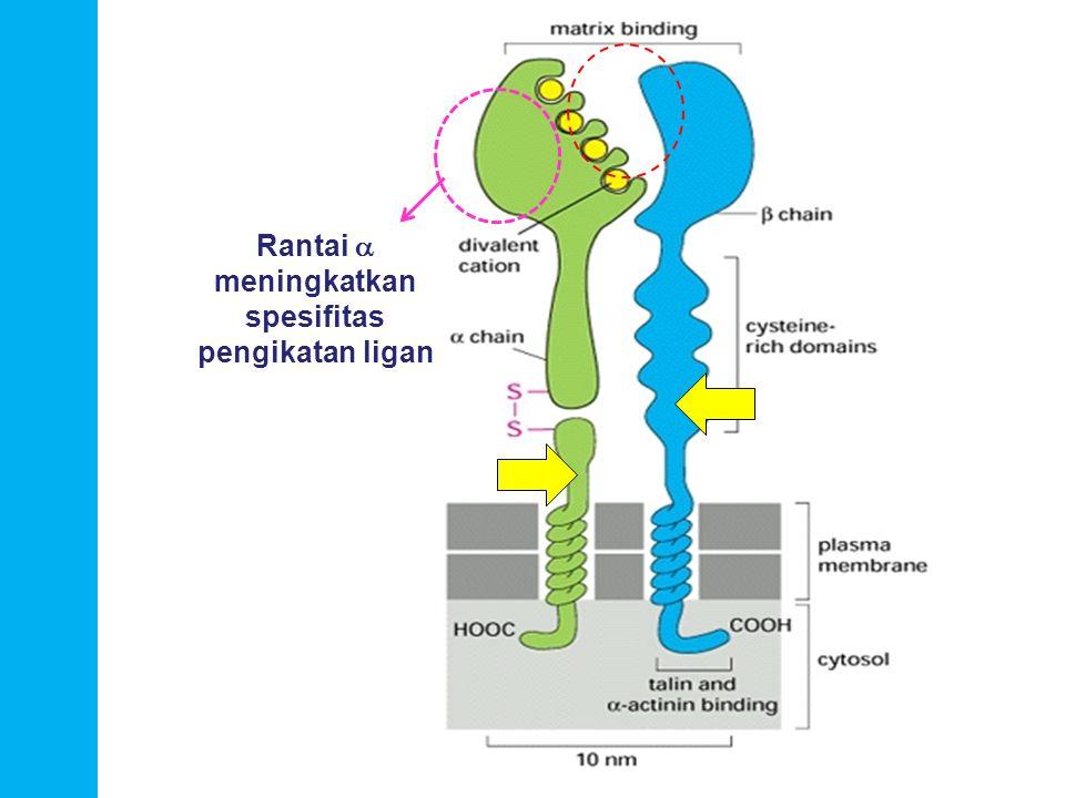 Rantai a meningkatkan spesifitas pengikatan ligan