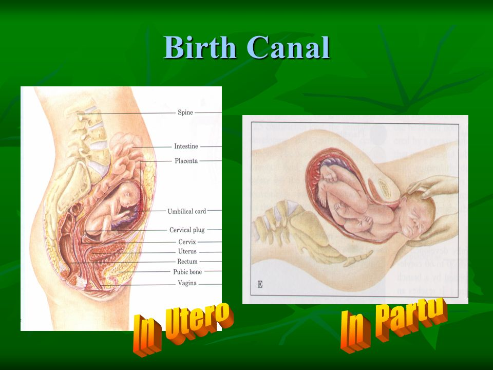 Birth Canal In Partu In Utero