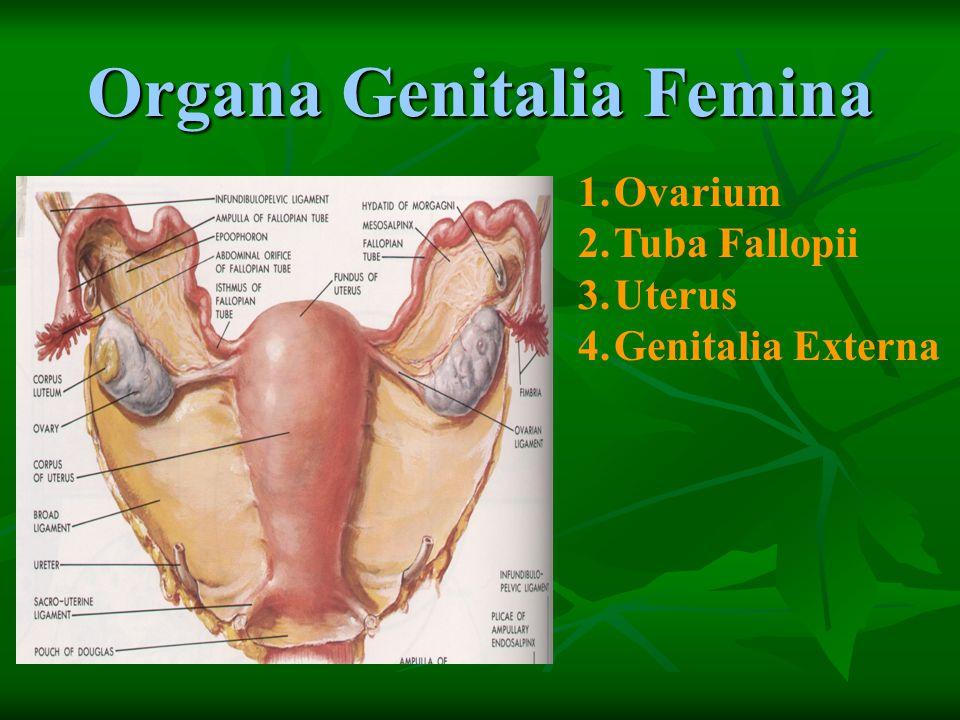Organa Genitalia Femina