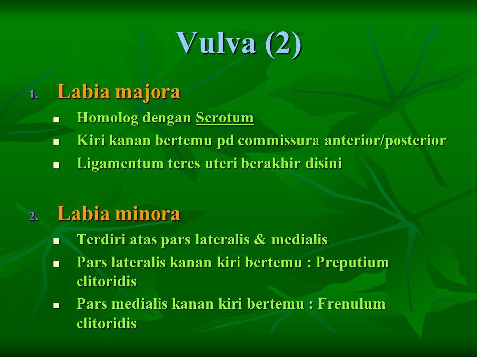 Vulva (2) Labia majora Labia minora Homolog dengan Scrotum
