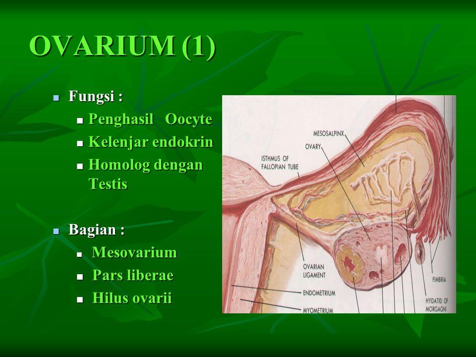 OVARIUM (1) Fungsi : Penghasil Oocyte Kelenjar endokrin