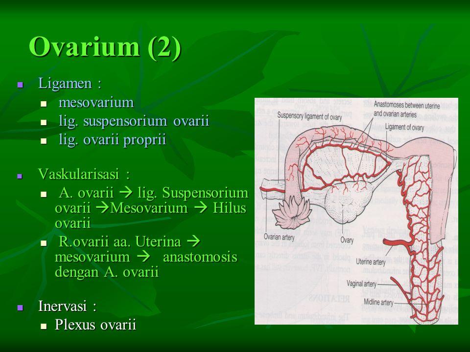 Ovarium (2) Ligamen : mesovarium lig. suspensorium ovarii