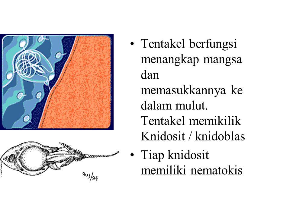 Tentakel berfungsi menangkap mangsa dan memasukkannya ke dalam mulut