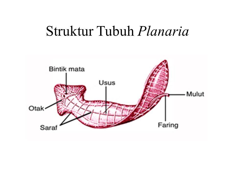 Struktur Tubuh Planaria