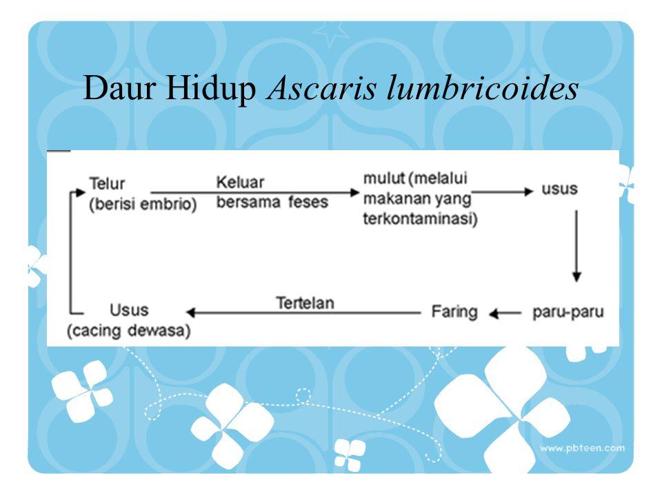 Daur Hidup Ascaris lumbricoides