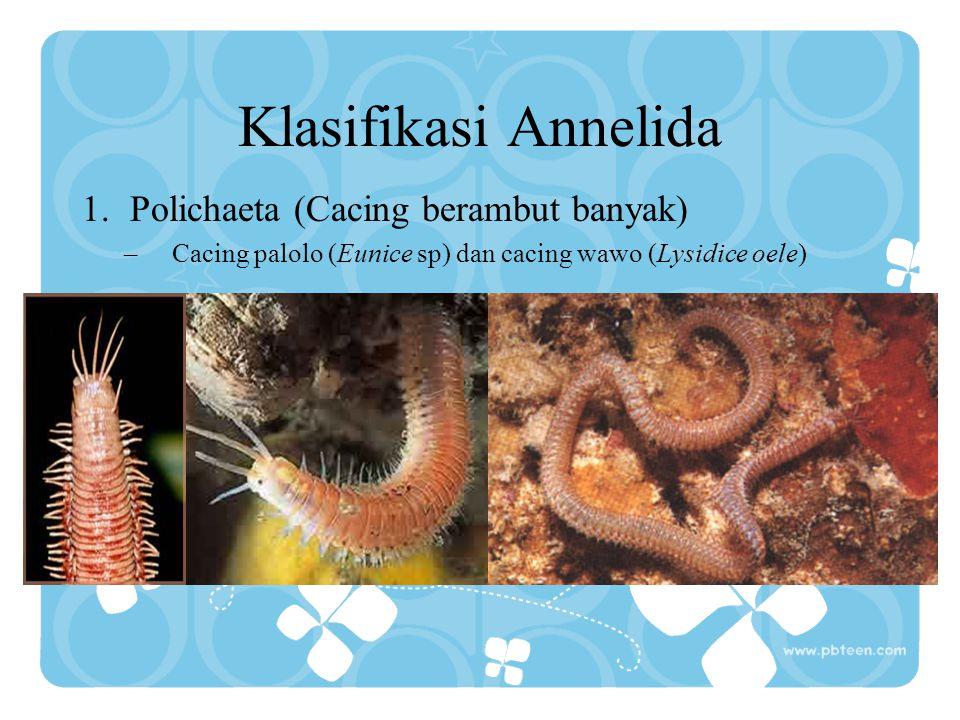 Klasifikasi Annelida Polichaeta (Cacing berambut banyak)