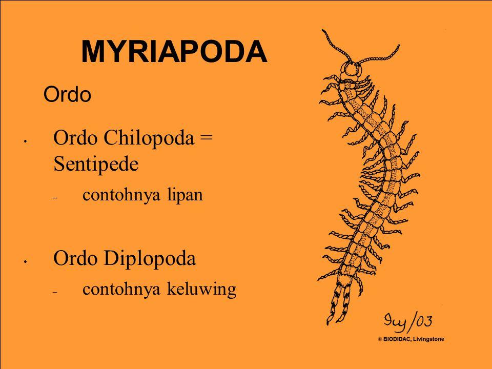 MYRIAPODA Ordo Ordo Chilopoda = Sentipede Ordo Diplopoda