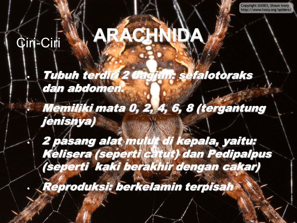 ARACHNIDA Ciri-Ciri Tubuh terdiri 2 bagian: sefalotoraks dan abdomen.