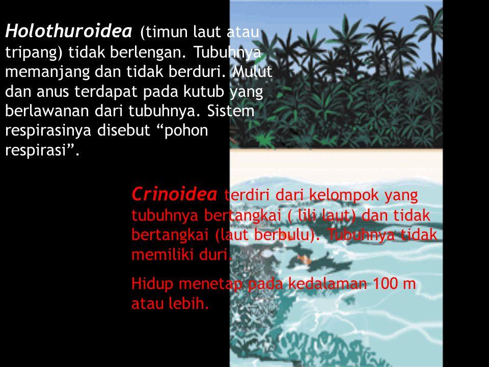Holothuroidea (timun laut atau tripang) tidak berlengan