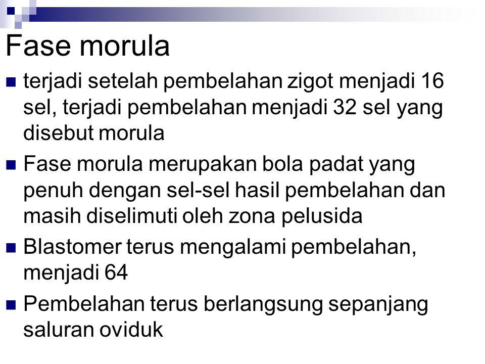 Fase morula terjadi setelah pembelahan zigot menjadi 16 sel, terjadi pembelahan menjadi 32 sel yang disebut morula.
