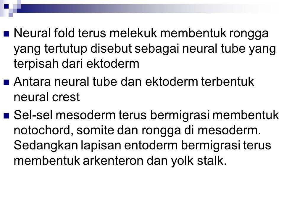 Neural fold terus melekuk membentuk rongga yang tertutup disebut sebagai neural tube yang terpisah dari ektoderm