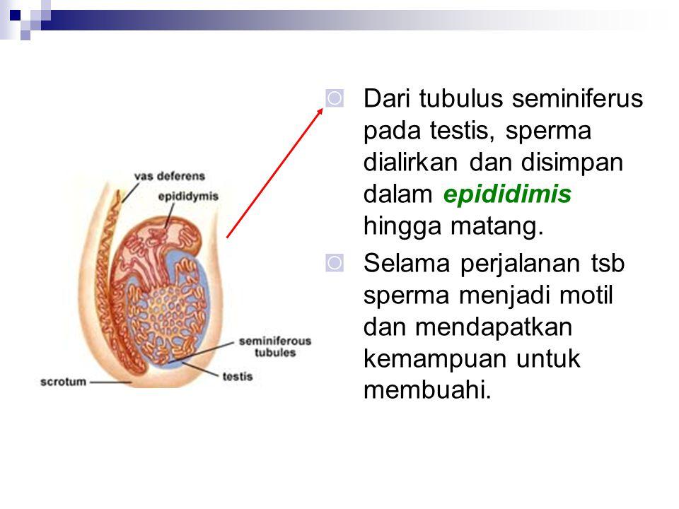 Dari tubulus seminiferus pada testis, sperma dialirkan dan disimpan dalam epididimis hingga matang.