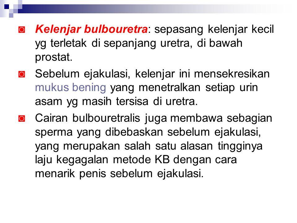 Kelenjar bulbouretra: sepasang kelenjar kecil yg terletak di sepanjang uretra, di bawah prostat.