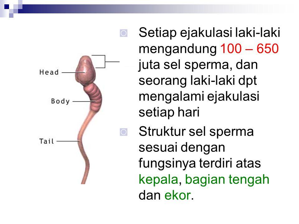 Setiap ejakulasi laki-laki mengandung 100 – 650 juta sel sperma, dan seorang laki-laki dpt mengalami ejakulasi setiap hari