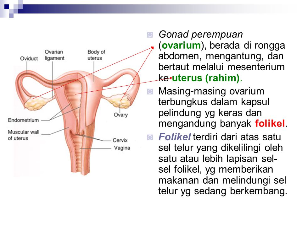 Gonad perempuan (ovarium), berada di rongga abdomen, mengantung, dan bertaut melalui mesenterium ke uterus (rahim).