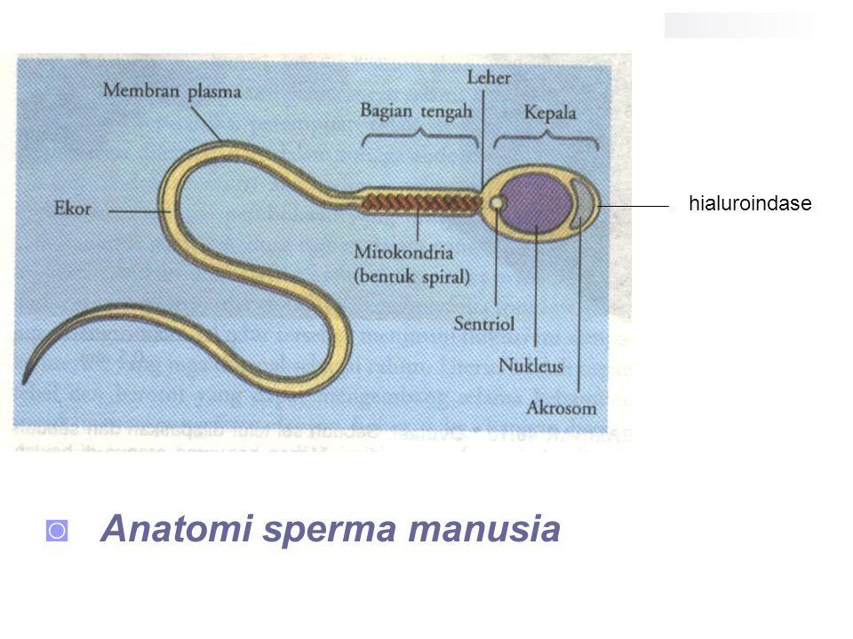 Anatomi sperma manusia