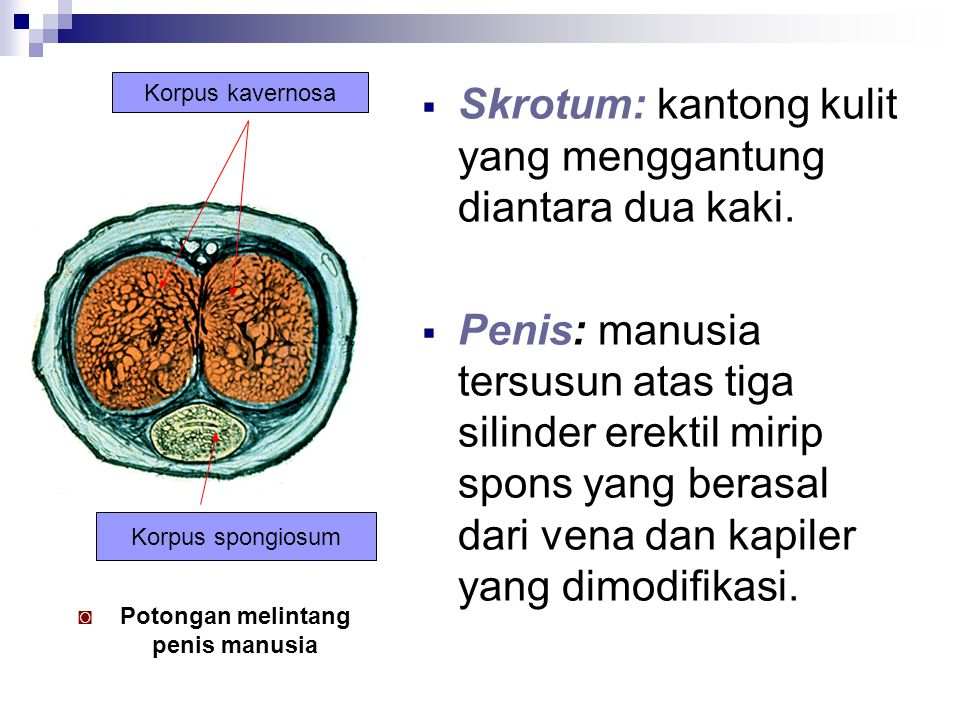 Potongan melintang penis manusia
