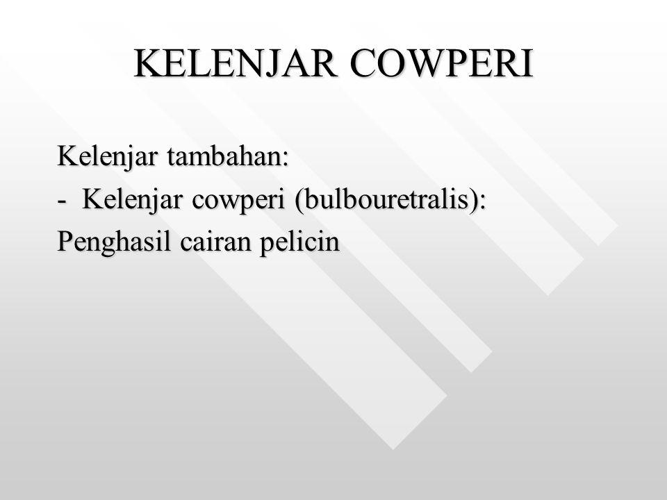 KELENJAR COWPERI Kelenjar tambahan: Kelenjar cowperi (bulbouretralis):