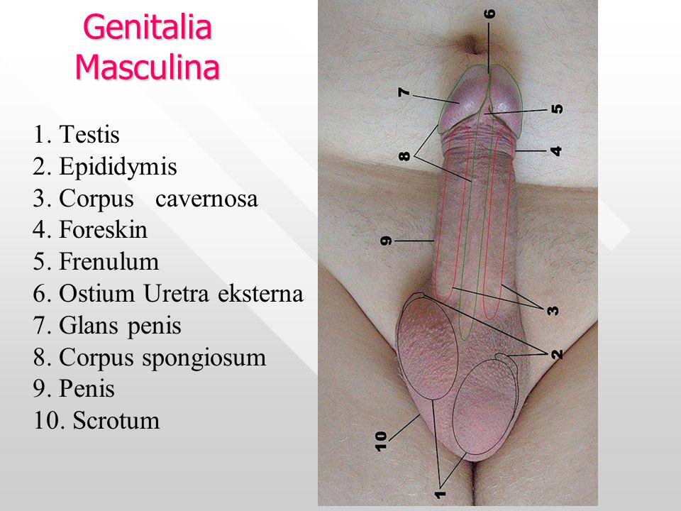 Genitalia Masculina