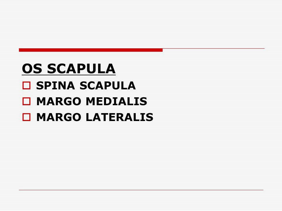 OS SCAPULA SPINA SCAPULA MARGO MEDIALIS MARGO LATERALIS