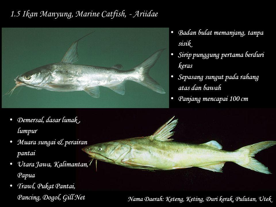 1.5 Ikan Manyung, Marine Catfish, - Ariidae