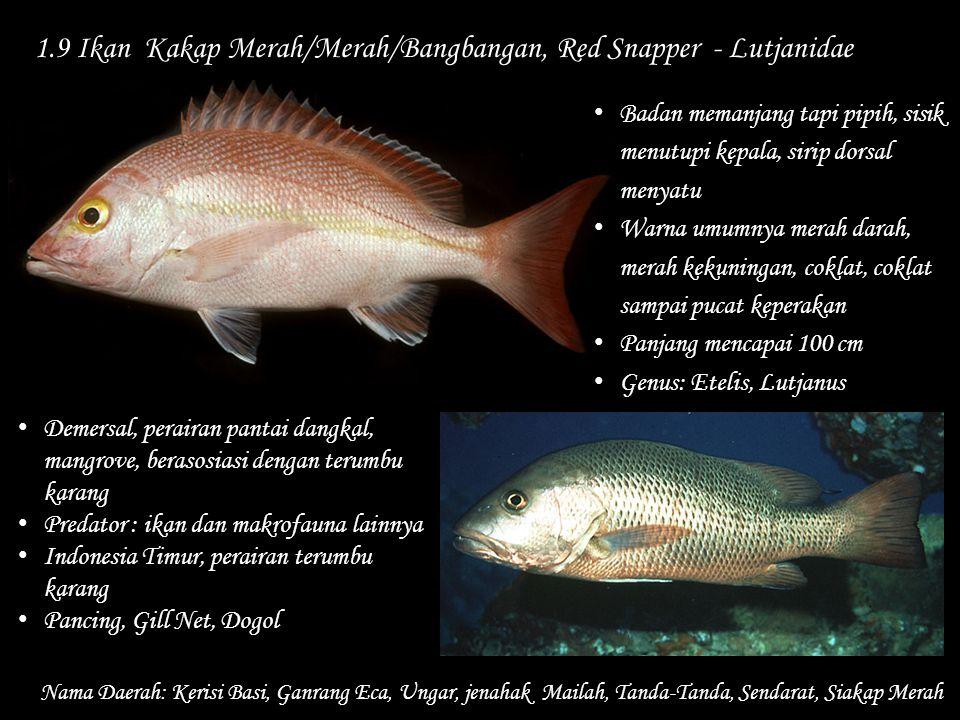 1.9 Ikan Kakap Merah/Merah/Bangbangan, Red Snapper - Lutjanidae