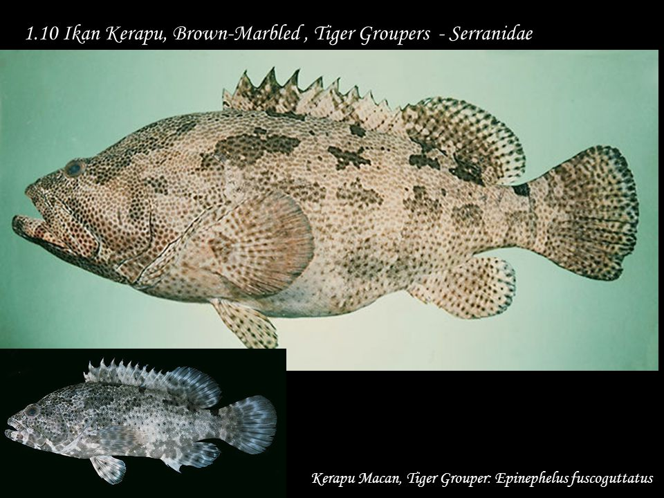 1.10 Ikan Kerapu, Brown-Marbled , Tiger Groupers - Serranidae