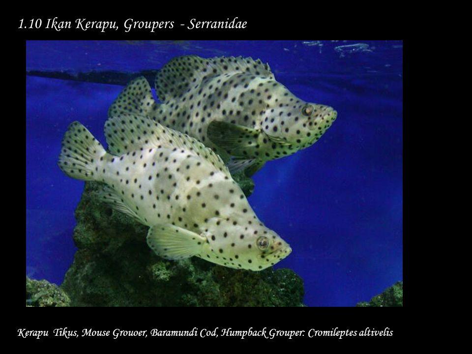 1.10 Ikan Kerapu, Groupers - Serranidae