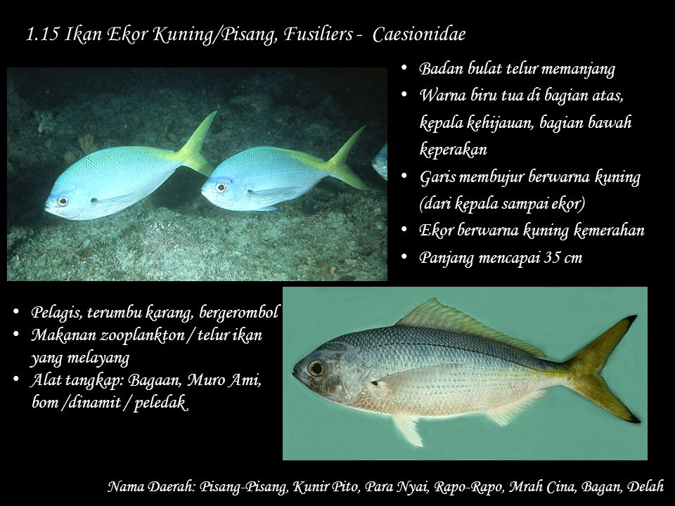 1.15 Ikan Ekor Kuning/Pisang, Fusiliers - Caesionidae