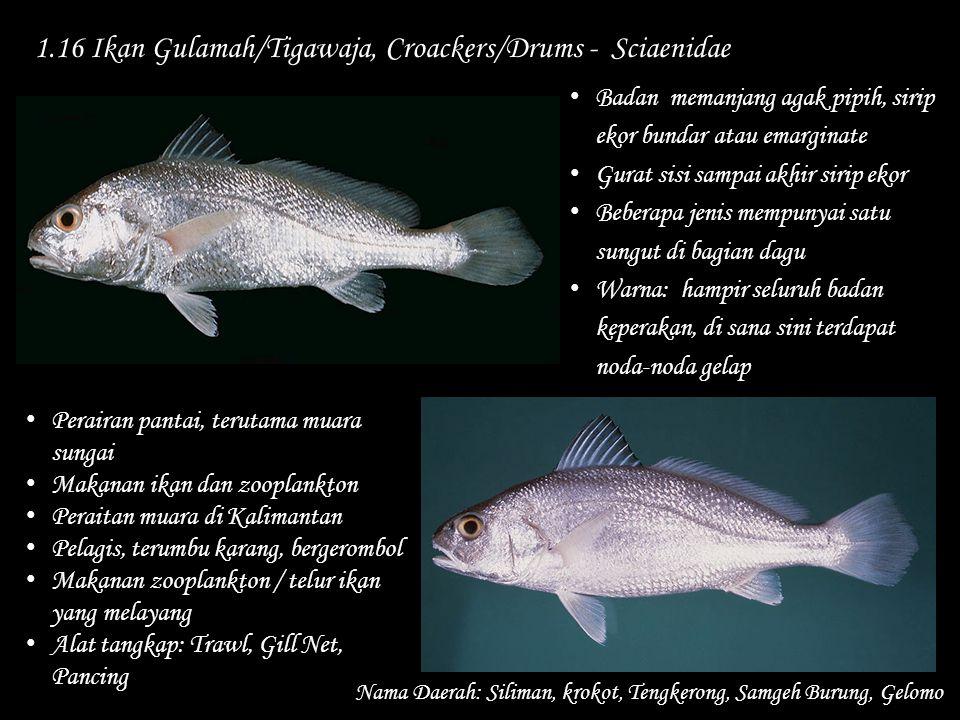 1.16 Ikan Gulamah/Tigawaja, Croackers/Drums - Sciaenidae