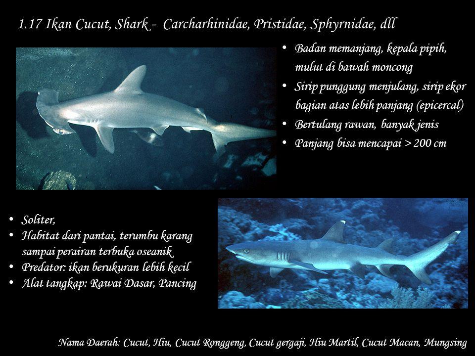 1.17 Ikan Cucut, Shark - Carcharhinidae, Pristidae, Sphyrnidae, dll