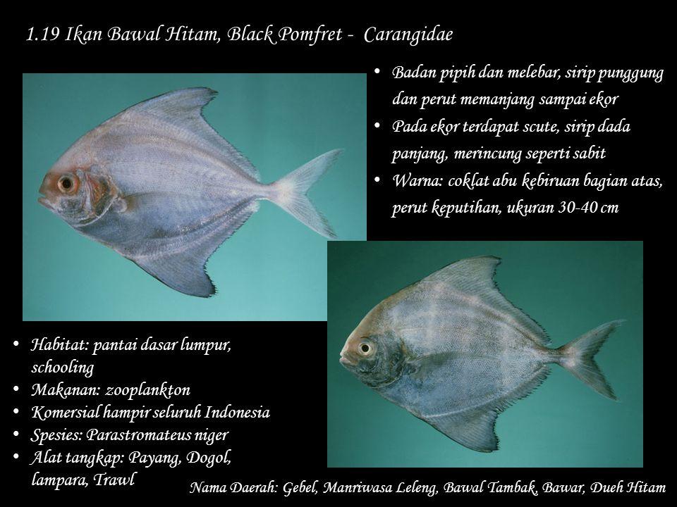 1.19 Ikan Bawal Hitam, Black Pomfret - Carangidae