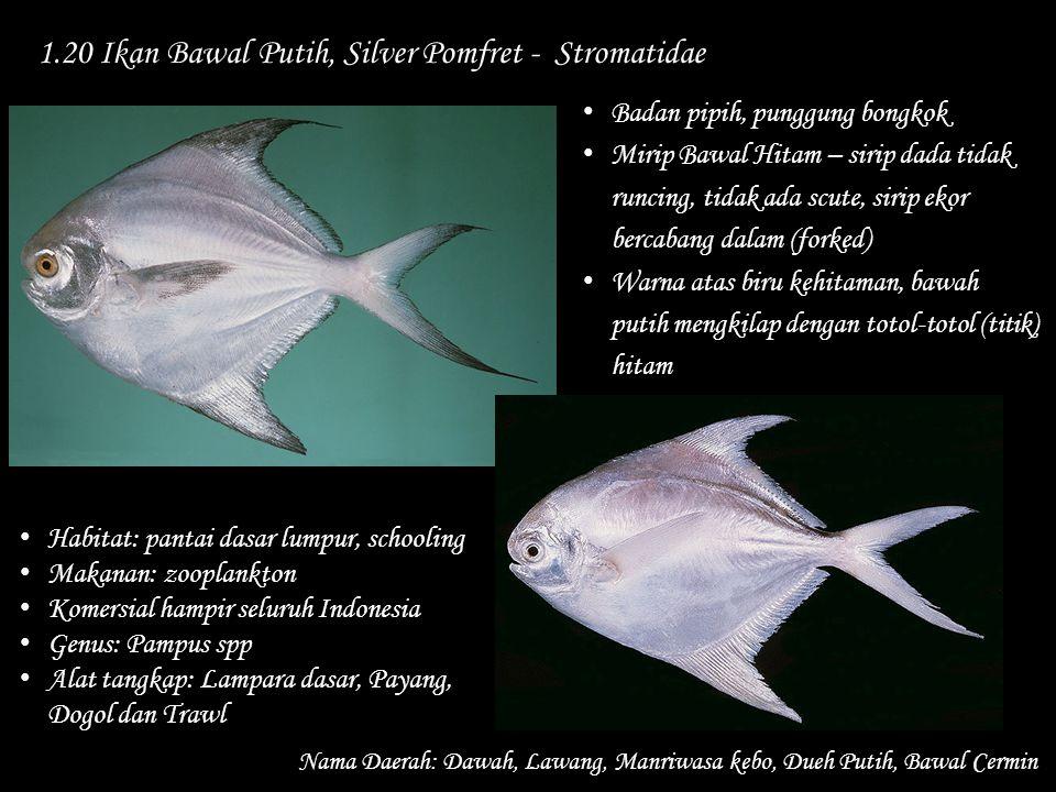 1.20 Ikan Bawal Putih, Silver Pomfret - Stromatidae