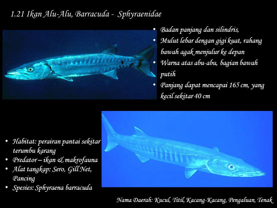 1.21 Ikan Alu-Alu, Barracuda - Sphyraenidae