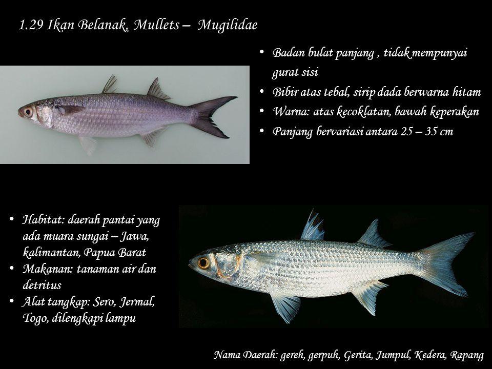 1.29 Ikan Belanak, Mullets – Mugilidae