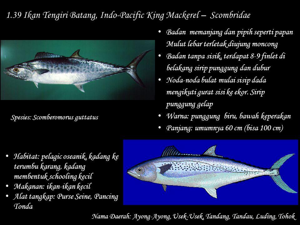 1.39 Ikan Tengiri Batang, Indo-Pacific King Mackerel – Scombridae
